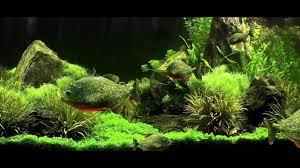 piranha fish aquarium live wallpaper