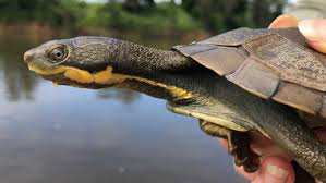 Combined Efforts To Save Ancient Manning River Turtle Continue After Surviving Drought Bushfire Abc News