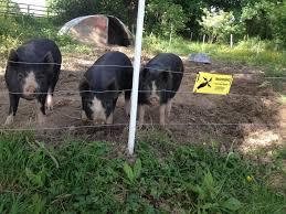 Electric Fence For Pigs Guide Farmcareuk Com