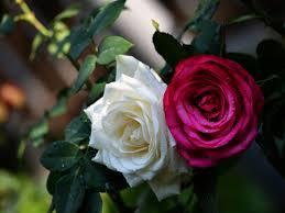 اجمل الورود الرومانسية 2020 خلفيات جميلة للكمبيوتر والموبايل