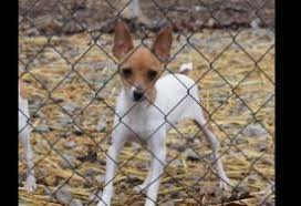 panion dogs toy fox terrier