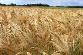 Gratis billeder : Mark, byg, hvede, prærie, afgrøde, landbrug ...