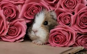 guinea pig rose pink flower