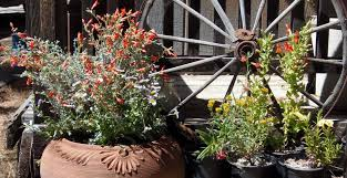 native plants in container gardening