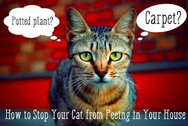 stop your cat from ing in the house