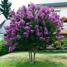 Liliacul - arbustrul elegantei in gradina