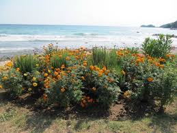 seaside plants and flowers how to