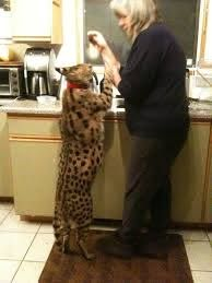 My friends house cat a Serval  pics