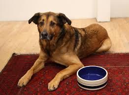 German Sheprador Mixed Dog Breed ...