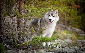 hd wallpaper dog siberian husky