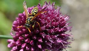 yellow jackets bees wasps hornets