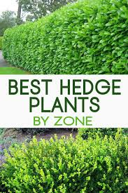 Top 13 Best Hedge Plants By Zone Garden Lovin Shrubs For Landscaping Hedges Landscaping Garden Hedges