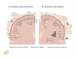 telencefalo leon anatomy