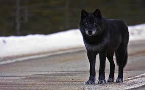 black wolf wallpapers hd