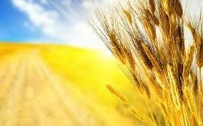 Молчи, грусть, молчи: Російська пшениця не витримала конкуренції з українською і програла тендер у Єгипті