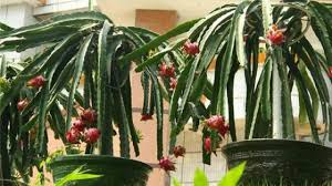 盆栽火龙果怎么浇水- 花百科