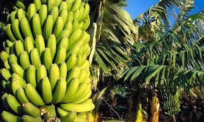 Carta abierta de la Asociación de Productores de Plátanos de ...