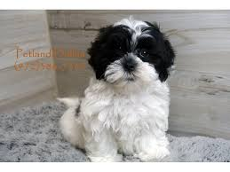 shih poo puppies petland dallas tx