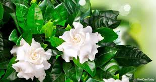 yellow leaves on gardenia causes