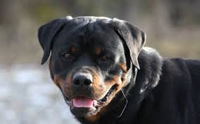 rottweiler wallpaper group 78