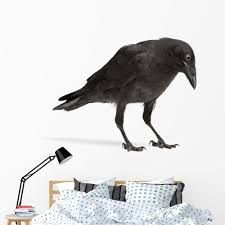 Amazon Com Wallmonkeys Young Carrion Crow Wall Decal Peel And Stick Animal Graphics 60 In W X 47 In H Wm92029 Furniture Decor