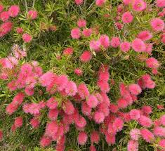 Creating A Hedge With Australian Plants Gardendrum