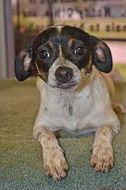 beaumont tx toy fox terrier meet