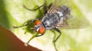 How To Get Rid Of Houseflies Killing Houseflies Ortho