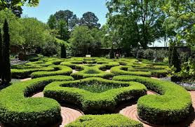 growing and caring for boxwood shrubs