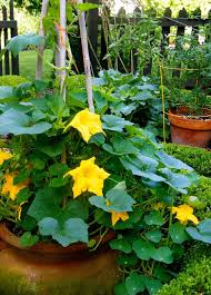growing pumpkins in containers how to