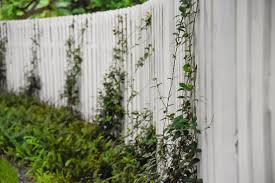 Confederate Jasmine Trachelospermum Jasminoides Michael A Gilkey Inc