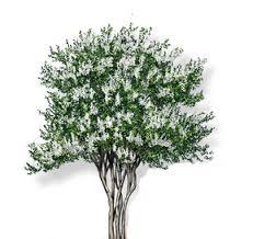 White Crape Myrtle - Texas Tree Farms