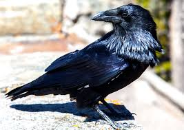 Raven Photos ? John William Uhler - Yellowstone Up Close and Personal
