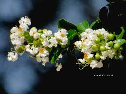 Crape Myrtle White Photograph by Angelcia Wright