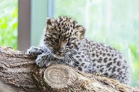 amur leopard baby baby animal wildcat