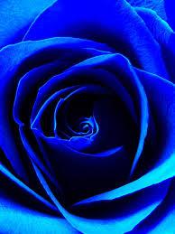 Las Rosa Por Las Mananas Son Siempre Azul Rosas Azules Rosas