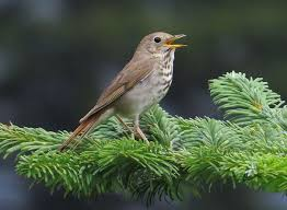 Living on Earth: BirdNote: Exquisite Thrush Song
