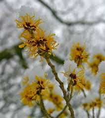 hamamelis witch hazel a to z flowers
