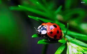 ladybug wallpapers hd desktop and