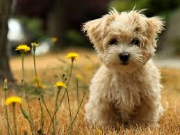 cute puppy wallpapers hd desktop and