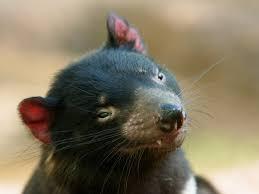 Il diavolo della Tasmania sta sconfiggendo il tumore - LifeGate