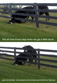 Picz I Like Cow Stuck In A Fence Surprise From Behind