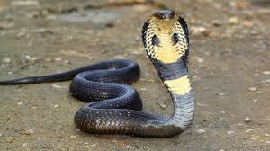 king cobra snake wallpapers hd