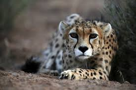 gulf arabs demand for cheetahs as pets