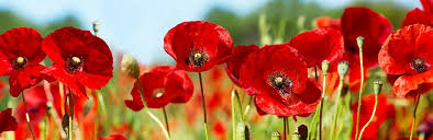How To Grow & Care for your Poppies   lovethegarden
