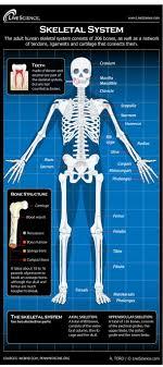 the human skeletal system live science