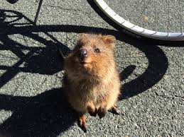 Where Do Quokkas Live? - Animal Hype