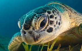 sea turtle wallpapers s