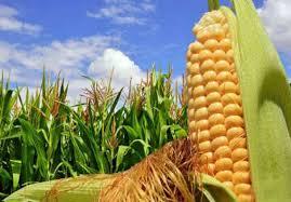 30 هزار تن ذرت دانه ای و علوفه در کردستان تولید می شود - ایرنا