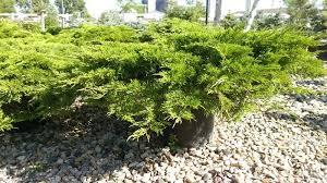 calgary carpet juniper juniperus